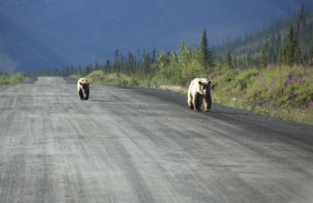 grizzlies on dempster